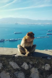 'Magot of berber-aap in Gibraltar